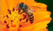 nằm mơ thấy ong
