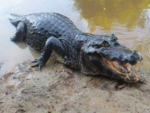 Mơ thấy cá sấu điềm gì?