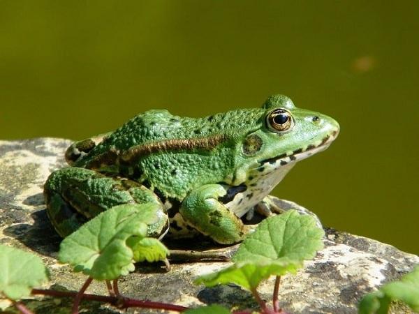 Ngủ mơ thấy ếch có điềm báo gì? Đánh con số nào?