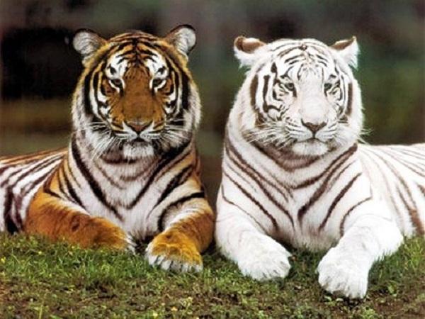 Mơ thấy hổ có điềm báo gì? Đánh con số nào may mắn?