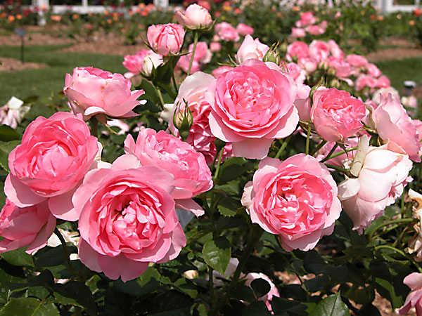 Giải mã giấc mơ thấy hoa hồng là điềm gì?